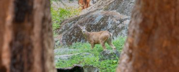 """""""Deer Between Sequoias"""": A young deer between two sequoias in Giant Forest, in the southern Sierra Nevada east of the San Joaquin Valley."""